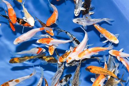 Koi Fish Amador county